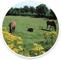 Horses in field with ragwort