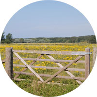 Field of ragwort behind a gate