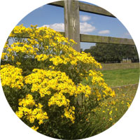 Ragwort by a fence