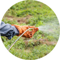 Ragwort removal with herbicide spray
