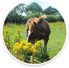 Young horse in field with ragwort