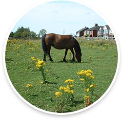Pony in field with ragwort