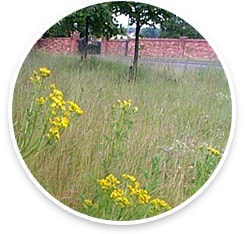 Ragwort by private road