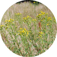 Ragwort on wasteland