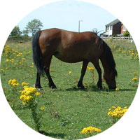 Pony grazing in field with ragwort